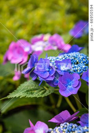 紫陽花の花が満開に、宝塚中山桜台 66950594