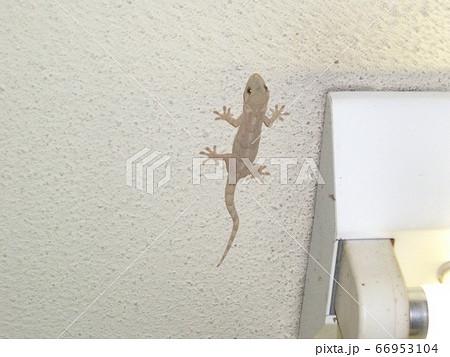 ヤモリ02 我が家の天井に張りつくヤモリ 66953104