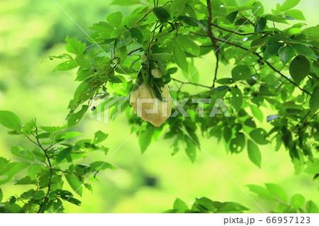 樹上のモリアオガエルの卵 66957123
