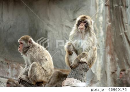 猿山で何かを見つめる二匹のニホンザル 66960176