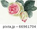 水彩画 花 薔薇 66961704