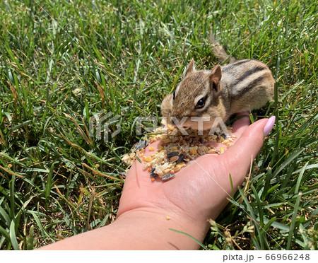 Cute Chipmunk Eating 66966248