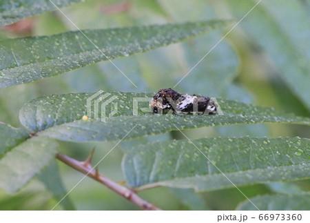アゲハ蝶の卵と終齢前の幼虫(鳥の糞に似ている) 66973360
