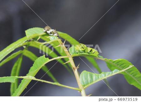 アゲハチョウの終齢幼虫(緑)と終齢前の幼虫(白黒) 66973519