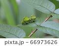 可愛いアゲハチョウの緑の終齢幼虫 66973626