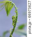 可愛いアゲハチョウの緑の終齢幼虫 66973627