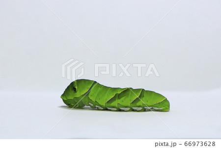 可愛いアゲハチョウの緑の終齢幼虫 66973628