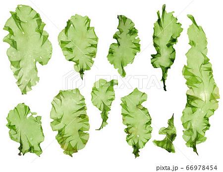 海藻 素材 ウスバアオノリ アオサ  66978454