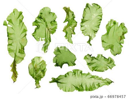 海藻 素材 ウスバアオノリ アオサ  66978457