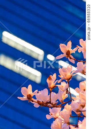 早朝に照明が点灯している高層ビルと木蓮の花 66988310