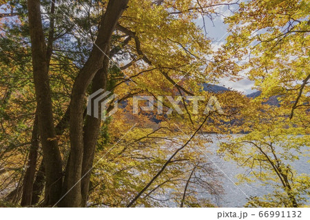 中禅寺湖を景色にオレンジ色の紅葉/栃木県日光市 66991132