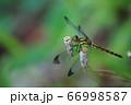 シオカラトンボ 66998587