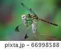 シオカラトンボ 66998588