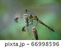 シオカラトンボ 66998596