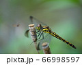 シオカラトンボ 66998597