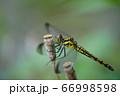 シオカラトンボ 66998598