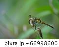 シオカラトンボ 66998600