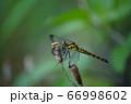 シオカラトンボ 66998602