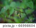 シオカラトンボ 66998604