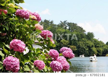 別府志高湖の畔に咲くピンクの紫陽花 67002181