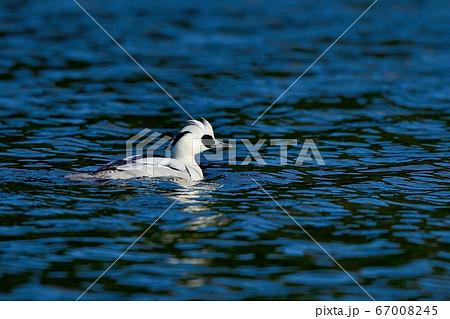 青空映す水面をのんびり泳ぐミコアイサ オス 67008245