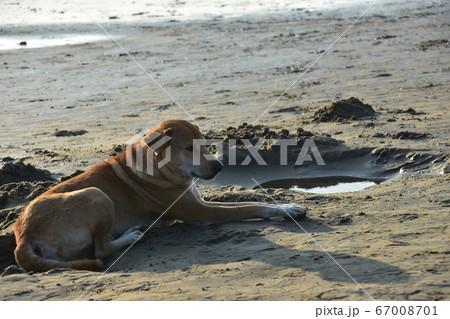 バングラデシュのコックスバザールビーチ 砂浜に座る可愛い野良犬 67008701