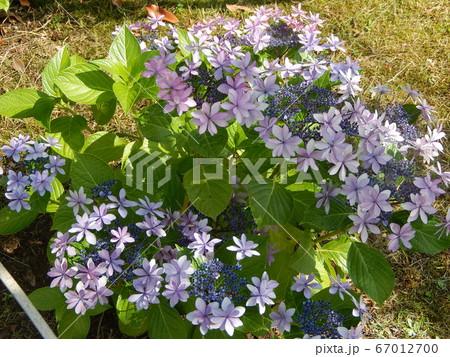 紫陽花 67012700