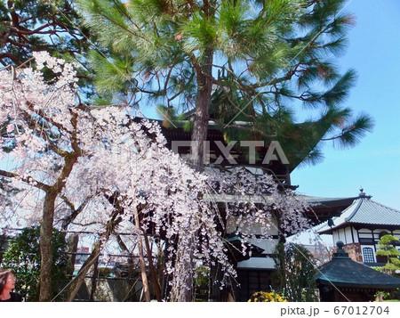 お寺と桜 67012704