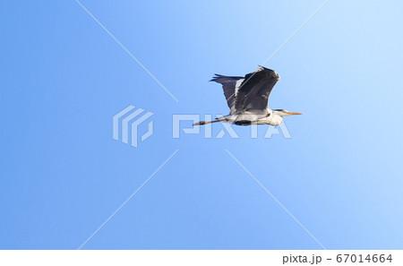 青空を飛ぶ一羽のフェニックス アオサギ 67014664