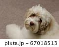 遊ぼうと訴えるペットのオーストラリアンラブラドゥードル 67018513