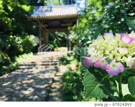 梅雨の晴れ間にきれいに咲く紫陽花 67024993