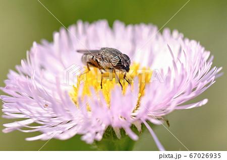 眼に縞模様 ハルジオンの蜜を吸うツマグロキンバエ 67026935
