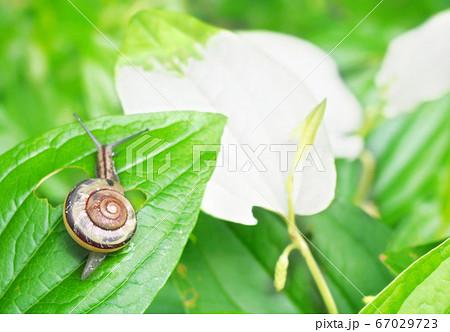 雑節・半夏生のイメージ(カタツムリとハンゲショウの葉) 67029723
