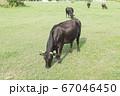 黒毛和牛 67046450
