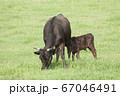 黒毛和牛の親子 67046491