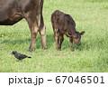黒毛和牛の子牛 67046501