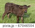 黒毛和牛の子牛 67046504