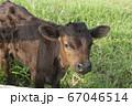 黒毛和牛の子牛 67046514