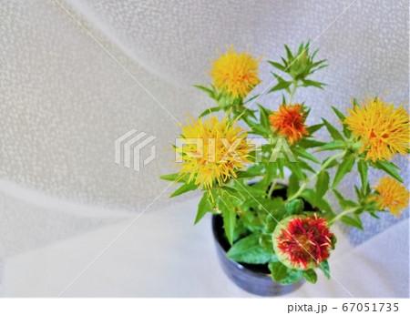 白い背景に活けられた黄色と赤の紅花 67051735