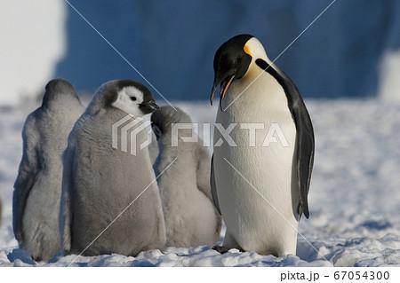 コウテイペンギン 67054300