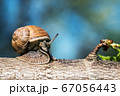 Grape snail, Europe's largest snail crawls on a tree 67056443