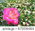 花畑に咲く一輪のバラ 67056464