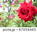 花畑に咲く一輪のバラ 67056465