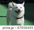 白い柴犬 67056493