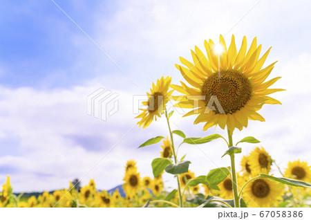 蒸し暑い真夏の花畑の向日葵 透過光 67058386