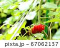 ミニトマト_家庭菜園 67062137