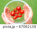 ミニトマト_収穫 67062138