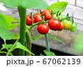 ミニトマト_家庭菜園_収穫 67062139