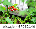 ミニトマト_収穫_家庭菜園 67062140