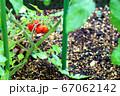 ミニトマト_家庭菜園_実り 67062142